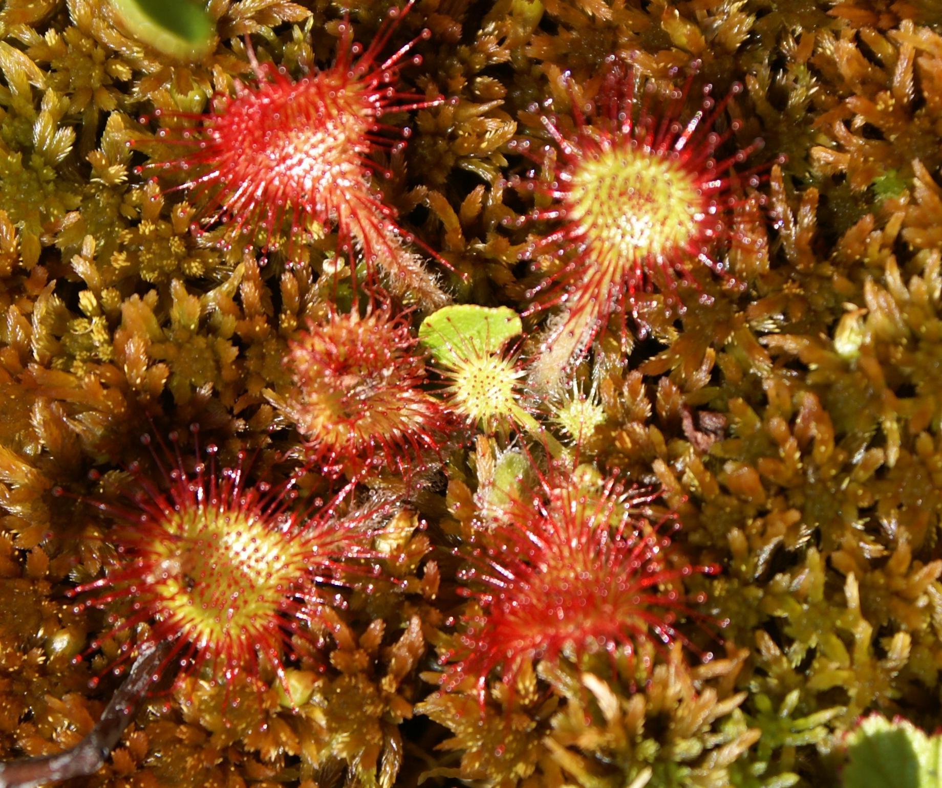 acadie plante carnivore 2